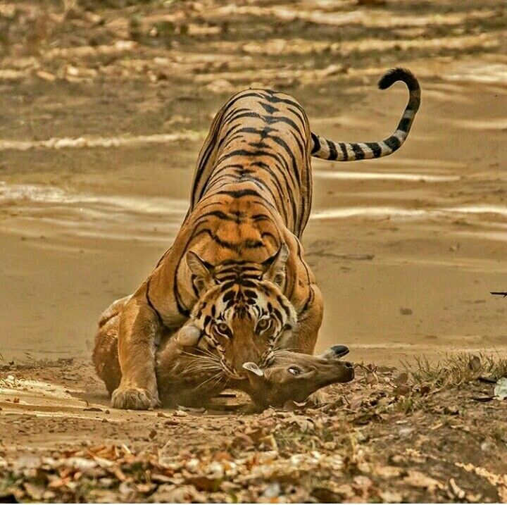 Tiger In The Jungle And Hunted A Deer Wild Animals Photography Animal Photography Wildlife Wild Tiger