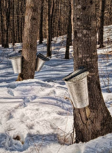 Maple syrup time! In New England, we know that winter is coming to an end when the sap runs.