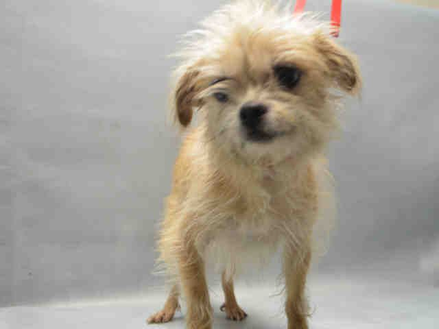 SANDY - A1098334 - - Brooklyn  Please Share:TO BE DESTROYED 12/03/16 **ON PUBLIC LIST** -  Click for info & Current Status: http://nycdogs.urgentpodr.org/sandy-a1098334/