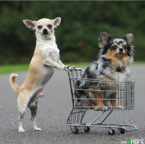 love this: Funny Friendship, Puppies, Doggies, Pet, Dogs Humor, Baby, Long Hair Chihuahua, Weights Loss, Adorable Animal