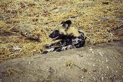 African Wild Dog (Cape Hunting Dog) (Tri-colored Dog). African Wild Dogs