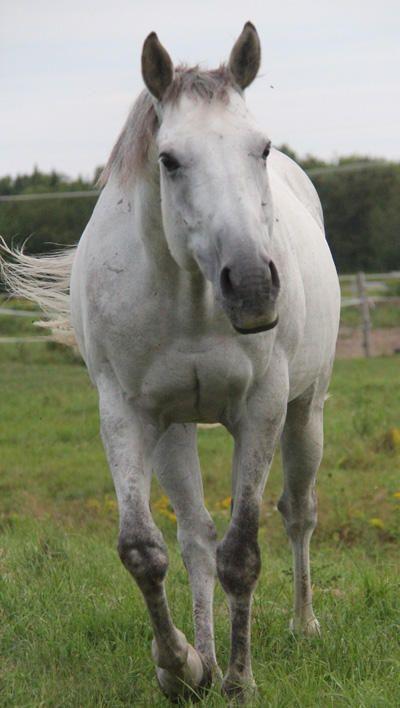 URGENT Demi-Pension l Magnifique thoroughbred de 11 ans 'ONE EZ RIDER', de couleur grise, à la recherche d'une cavalier confirmé (intermédiaire à avancé) en selle classique pour partager la monte avec sa propriétaire. Plus d'infos sur le lien. http://www.missdolittle.com/Consulter-annonces-animaux/14620-Cheval-Thouroughbred