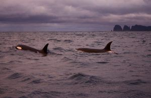 Two orcas sighted off Waterfall Bay in Tasmania