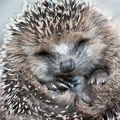 egel in de tuin - hedgehog