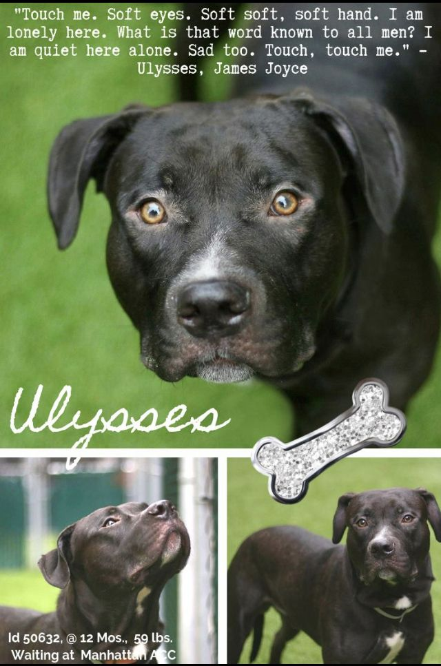 Ulysses To Die 01 08 19 Needs Help Nyc Dogs Dogs Animal Shelter