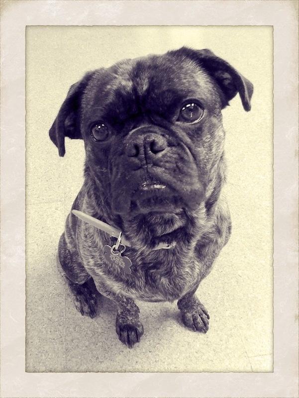 Zeppelin the #Bugg (Boston Terrier/Pug mix)