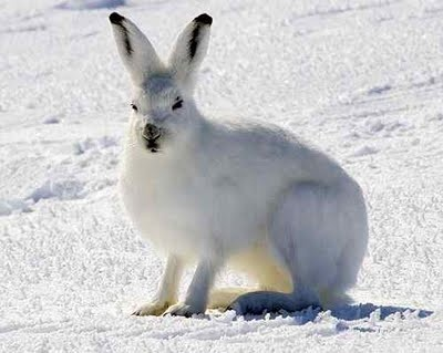 arctic hare Beautiful
