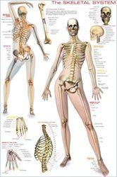 23 best Body Systems: Skeletal images on Pinterest | Skeletal ...