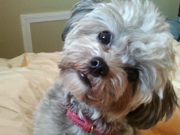Shihpoo Peppershih tzu poodle mix Puppies!! Pinterest