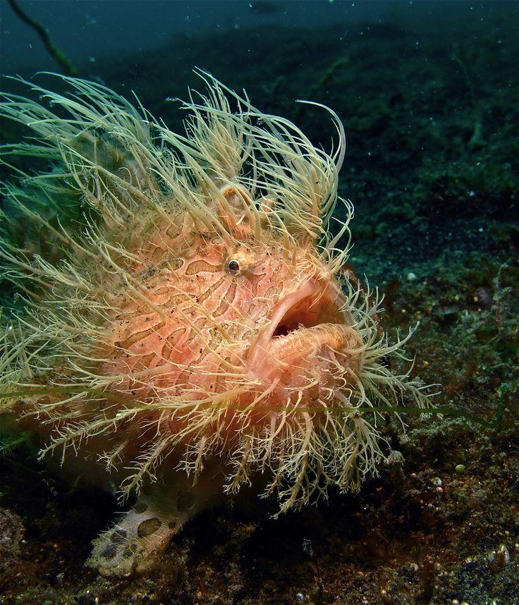 O Peixe Sapo (Frogfishes) são encontrados em quase todos os oceanos e mares tropicais e subtropicais em todo o mundo, a principal excepção é o Mar Mediterrâneo.-- Frogfishes são pequenos, curtos, robustos e maciços e às vezes coberto de espinhos, pelos  e outros complementos para ajudar na camuflagem.   A camuflagem ajuda na proteção contra predadores e permite atrair presas .  Muitas espécies podem mudar de cor; Alguns são cobertos com outros organismos como algas ou hidrozoários .