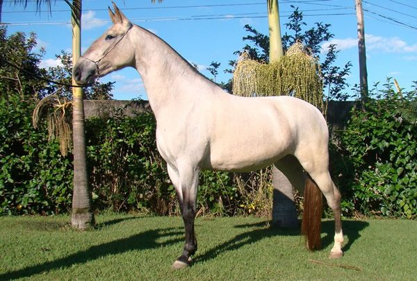 The Campolina horse breed of Brazil