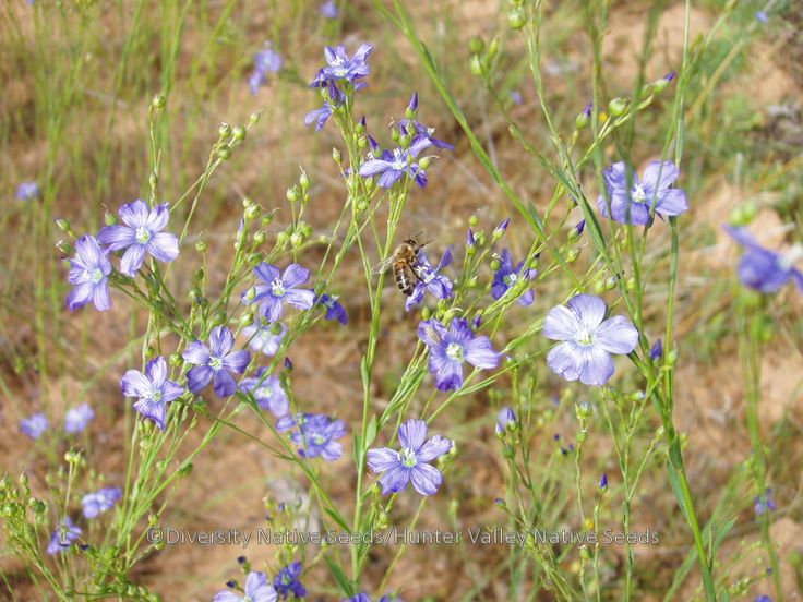 Linum marginale. native flax - naturally occuring