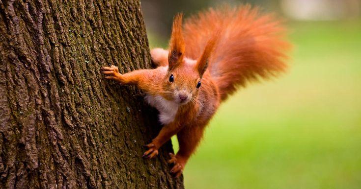 So Locken Sie Eichhornchen In Den Garten Rote Eichhornchen Eichhornchen Tier Fakten