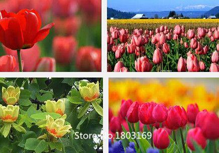 2016 тюльпан семена 500 шт. смешивание цветов, горшечные крытый и открытый горшечные растения очищают воздух семена цветов (Mix минимальный заказ $6)