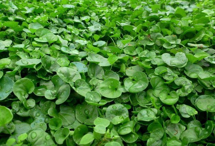Piante Tappezzanti Calpestabili : Più di fantastiche idee su piante tappezzanti