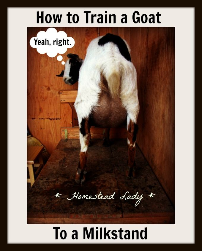 How to Train a Goat to a Milkstand on Homestead Lady at http://homesteadlady.com/how-to-train-a-goat-to-be-milked-on-a-milk-stand/