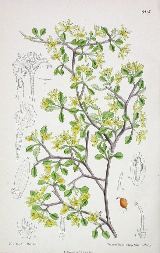 The Curtis Botanical Magazine - Corokia cotoneaster - No.8425, (Volume 138, 1912)