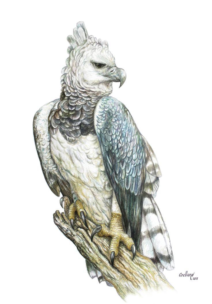 águila arpía/Acuarela/35x50cm