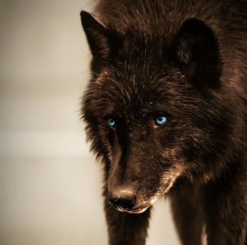 black wolf with green eyes - photo #15