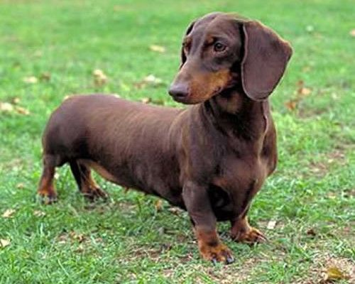 5 Perfect Wiener Dog Pictures
