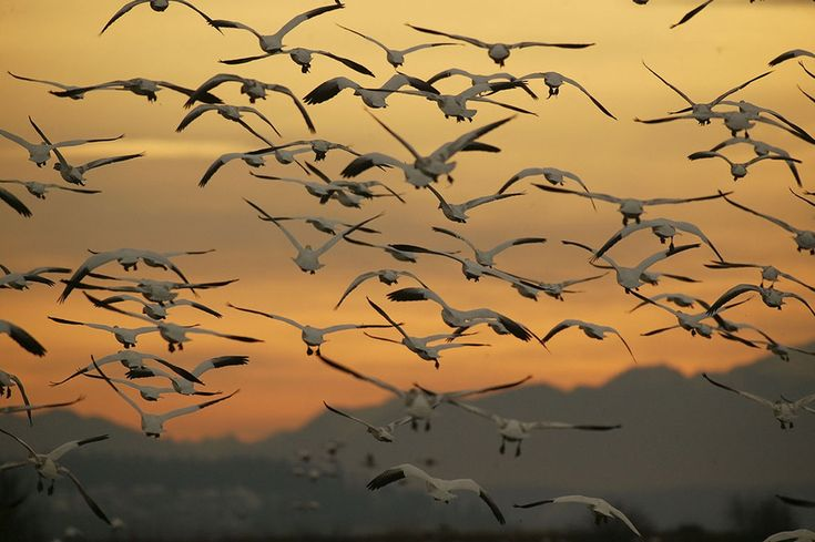Mount Vernon, WA: Snow Goose migration