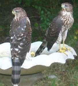 Cooper's Hawks..we're just hanging out near the bird feeder, just hanging out…