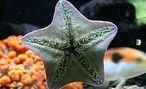 Sea stars push part of their stomach out of their mouth to feed.