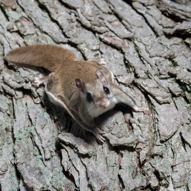 (Photo via Tony Campbell) What do flying squirrels and Buzz Lightyear have in common? They don't actually fly. Instead, the squirrels glide using a furry parachute-like membrane that stretches from their wrists to their ankles. There are about 44 different species of flying squirrel, the largest being the woolly flying squirrel.