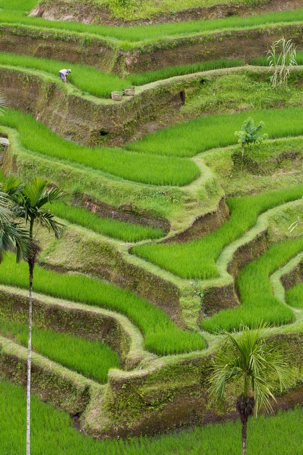 Bali Ubud rice field ❀  Bali Floating Leaf Eco-Retreat ❀ http://balifloatingleaf.com ❀