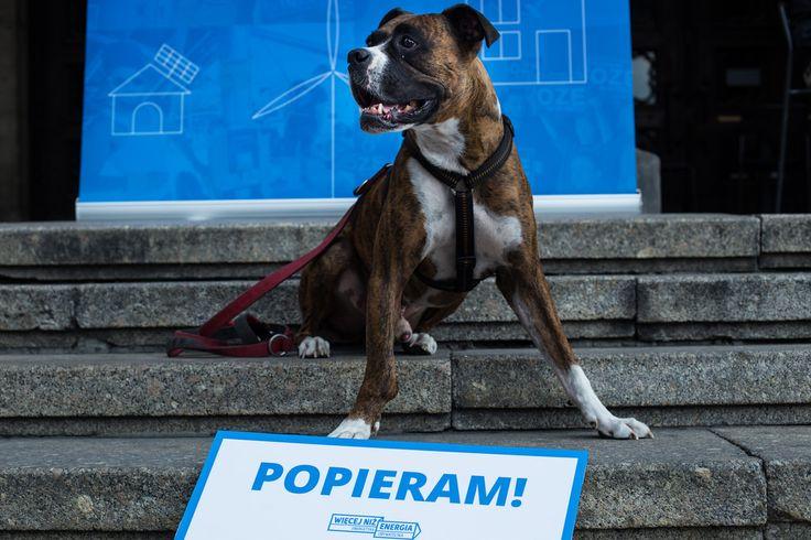 Więcej niż energia - energetyka obywatelska. Podpisz apel na www.wiecejnizenergia.pl  #pies #bokser #aktywista
