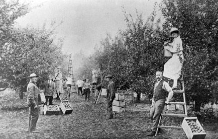 Group of men and women picking apples in W.C. Pound's BX orchard. Circa 1915. #VernonBC. Photo courtesy of the Greater Vernon Museum and Archives, Vernon BC Canada.