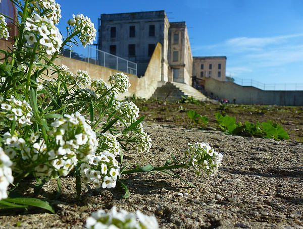 Some flowers in the recreation yard at Alcatraz Island. Want this picture printed on canvas or cards etc? Click on the image :)