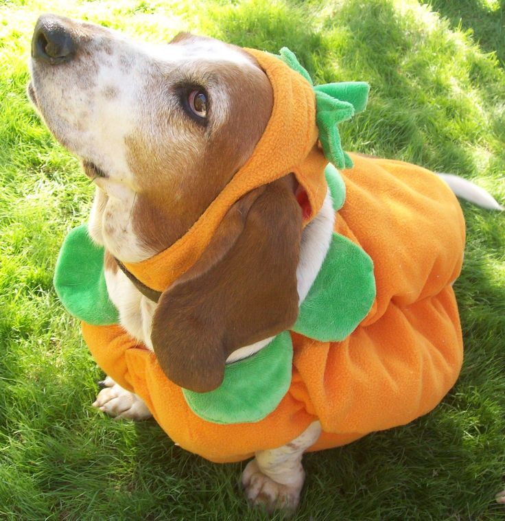 Arizona Basset Hound Rescue Howl O Ween for Hounds!