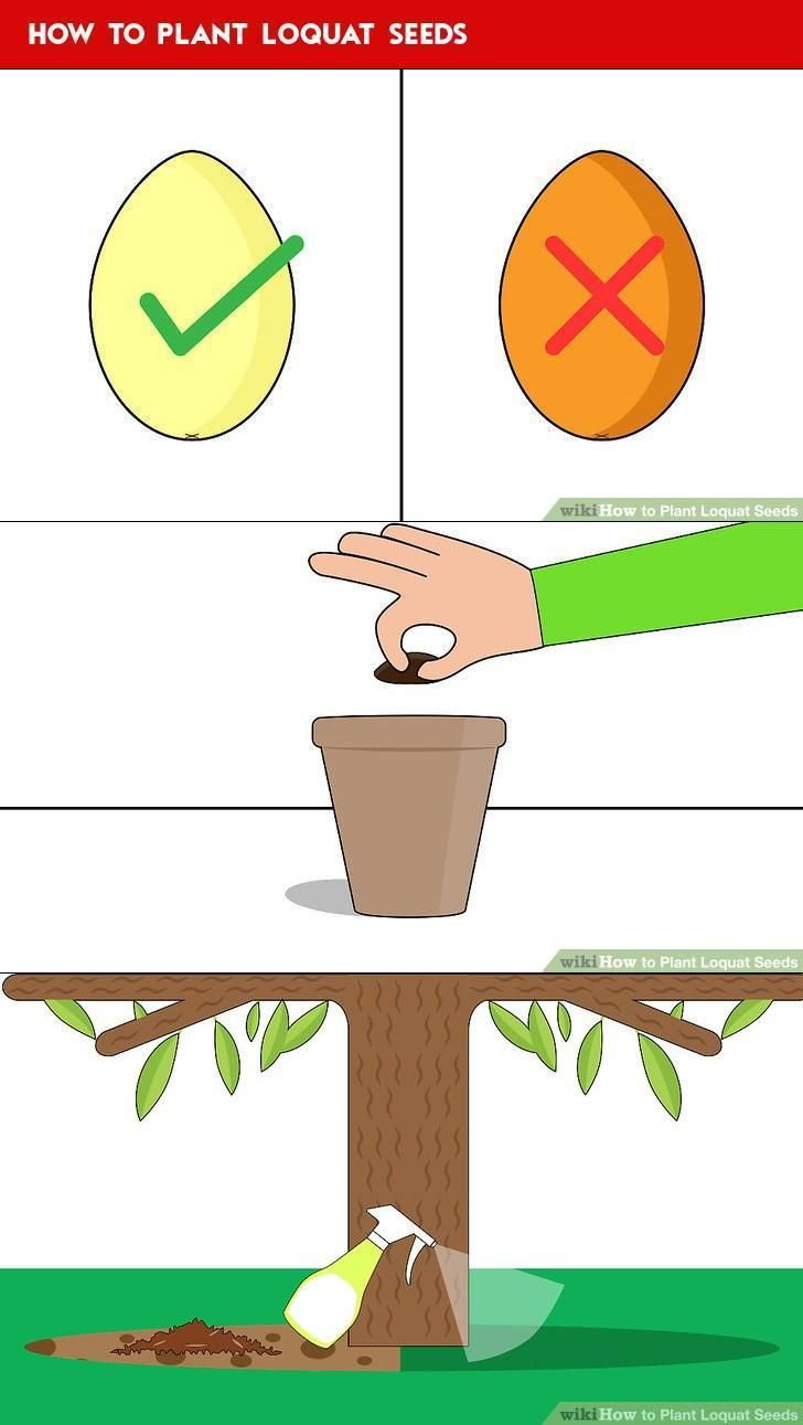 How To Plant Loquat Seeds Tree