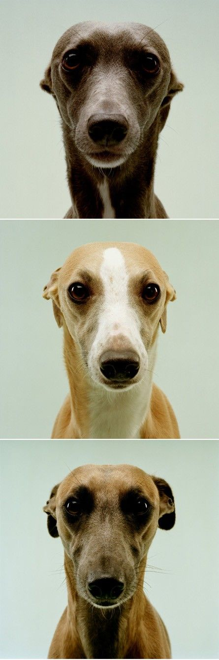 The greyhound face is one of my favorite dog faces. its always the same and always the one i am a sucker for.