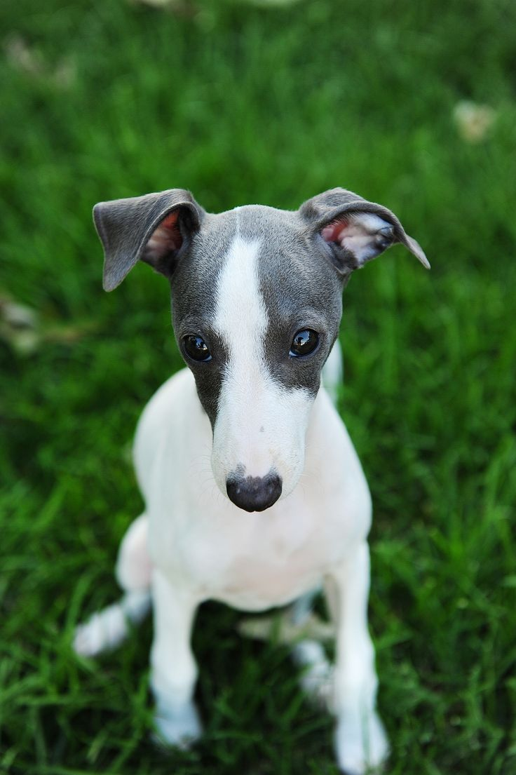 17 Best images about My Love For Italian Greyhounds on Pinterest  Italian greyhound dog, Pets