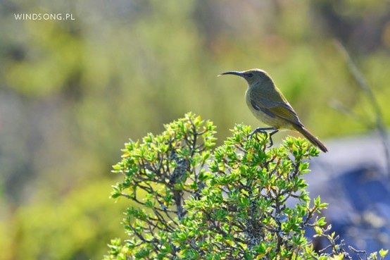 Table Mountain Sunbird.