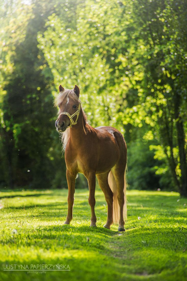 FB: SSF A Gift of Joy to Remember  American Miniature Horse filly portrait equine photography show mare caballo pferd AMH amha