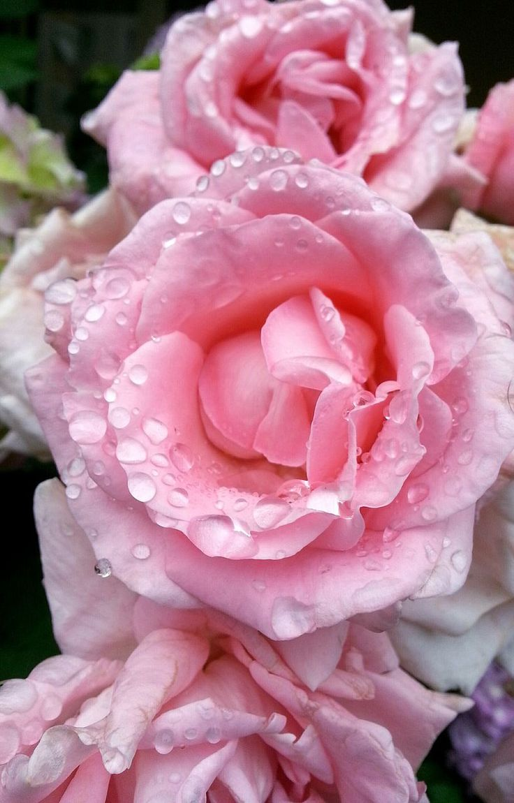 flower, pink color, petal, rose - flower, nature, beauty in nature, drop, fragility, flower head, close-up, water, growth, no people, wet, freshness, outdoors, day, plant, wild rose, raindrop, peony