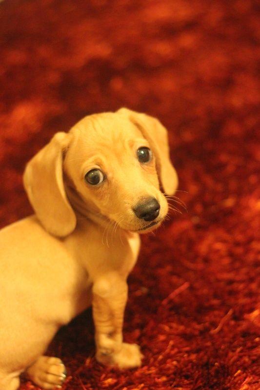 Miniature Dachshund Puppies | Miniature Dachshund Puppies |