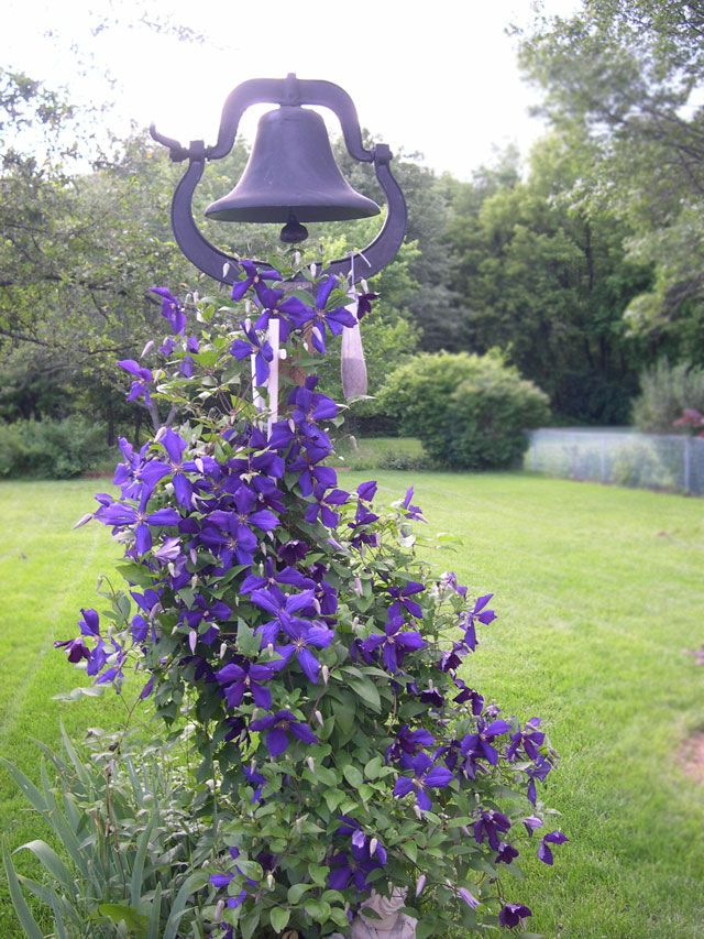 Clematis-on-Bell
