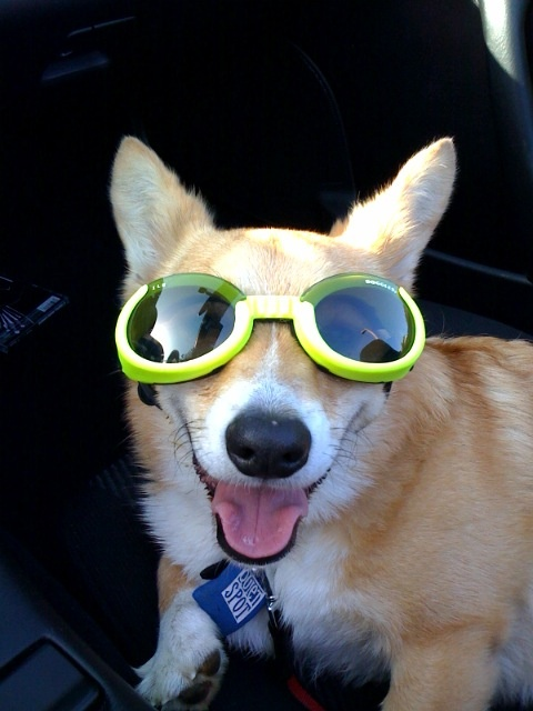 #corgi Raleigh | Corgis In Glasses n' Goggles! | Pinterest ...