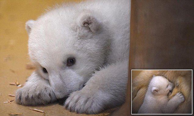 Bremerhaven Zoo in northwestern Germany unveil a shy polar bear cub | Daily Mail Online