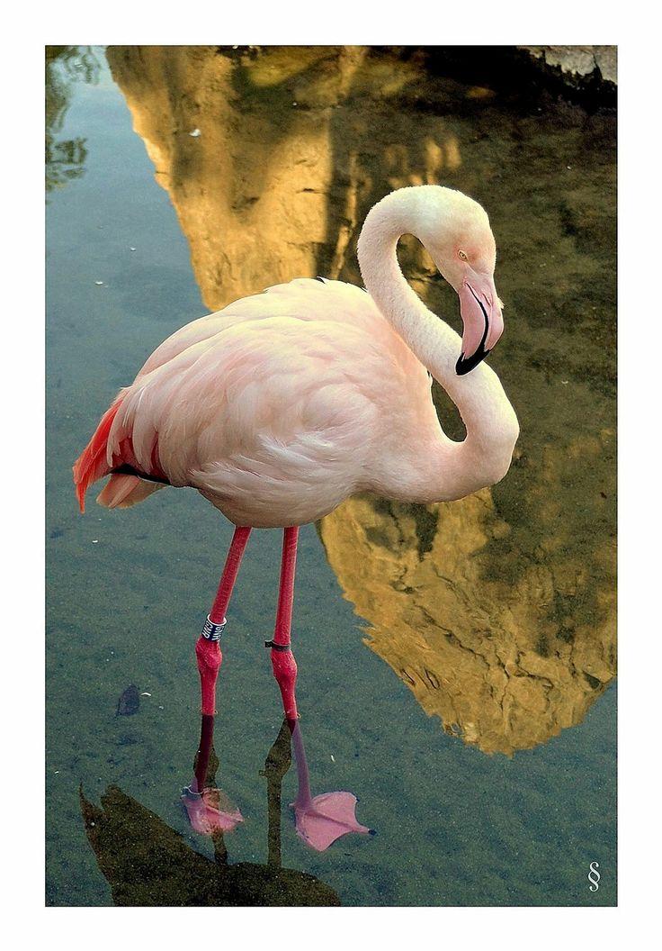 Flamenco en Calpe/Flamingo at Calpe town.