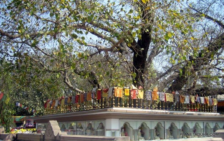Дерево Бодхи в Сарнатхе