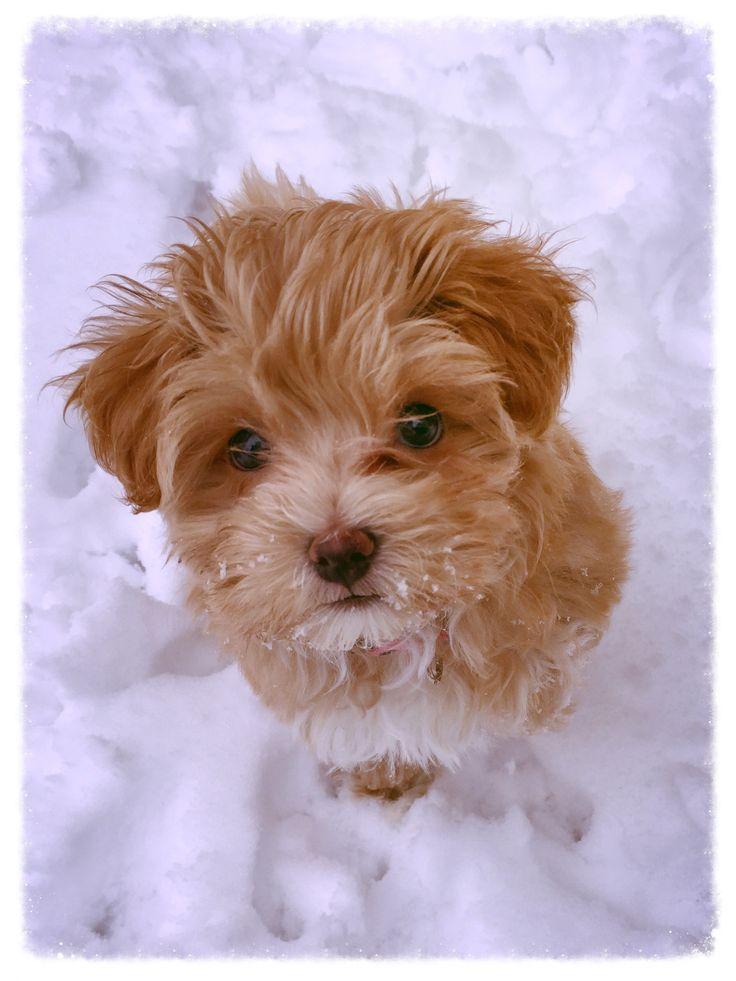 Havapoo Puppy
