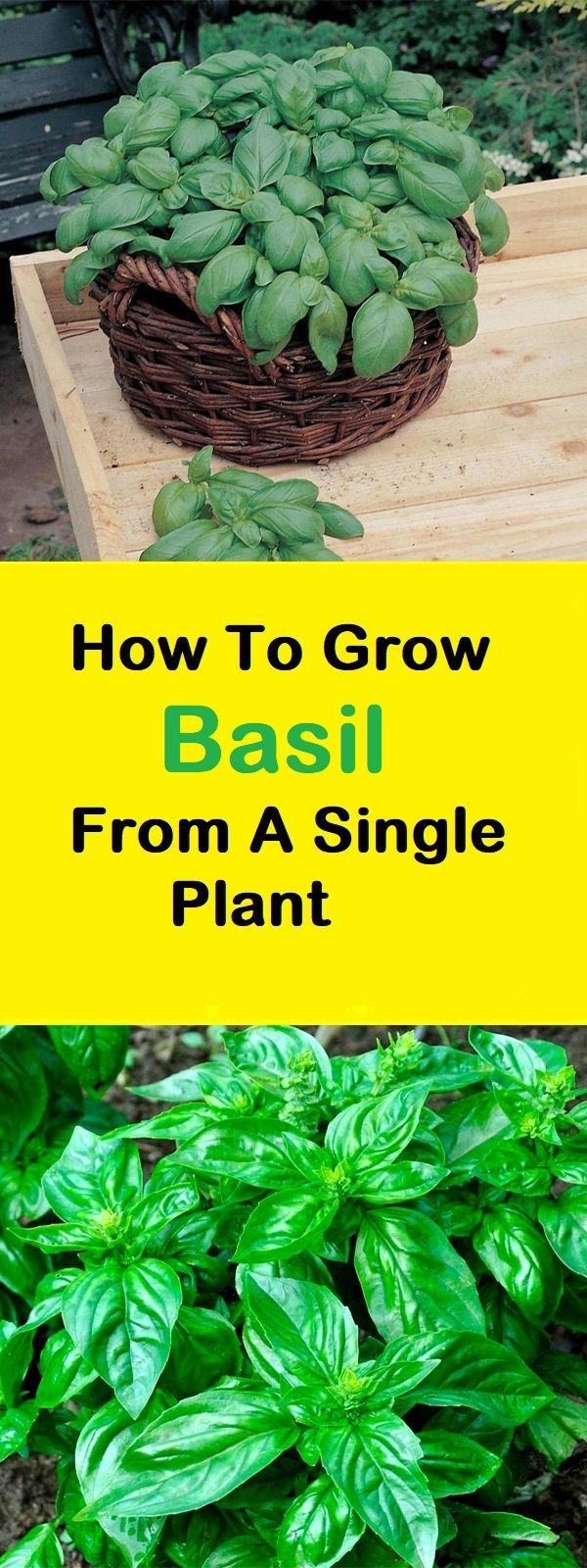 Scientists have discovered many healing properties of basil that are great against cancer. It is an anti-oxidant, so the free radicals in your body are limited and it also reduces the effects of the carcinogens that you are exposed to.