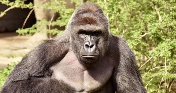 Second look at a third party? New poll places dead gorilla ahead of Green Party candidate