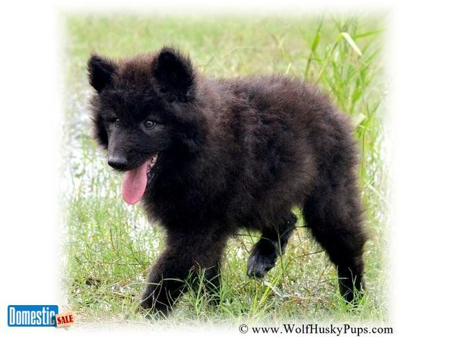 WOOLLY BLACK WOLF CUB - WELL SOCIALIZED AND BEAUTIFUL ...