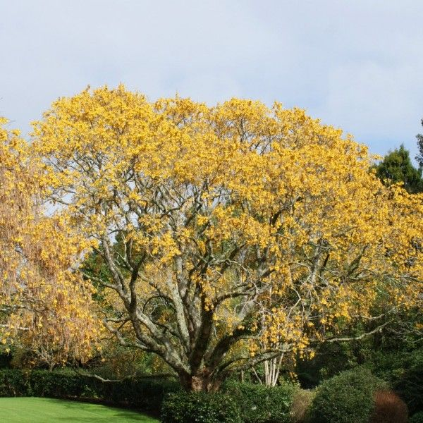 Sophora microphylla – (South Island Kowhai) | Leafland